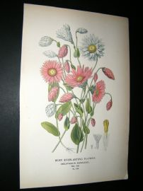 Step 1897 Antique Botanical Print. Rosy Everlasting